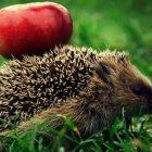 Ոզնիներն ընդհանրապես խնձոր չեն սիրում, բայց ինչո՞ւ են իրենց մեջքին տանում դրանք․ պատճառը բավական հետաքրքիր է