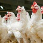 100 հոշոտած հավ է հայտնաբերվել