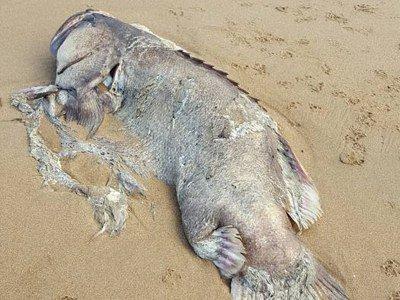 Հսկայական առեղծվածային ծովային կենդանի է հայտնաբերվել (լուսանկարներ)