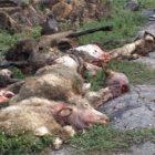 էլեկտրագնացքը հարվածել է ոչխարի հոտի. 63 ոչխար սատկել է