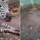 Երևանի կենդանաբանական այգու զեբրը կոտրել է ոտքը