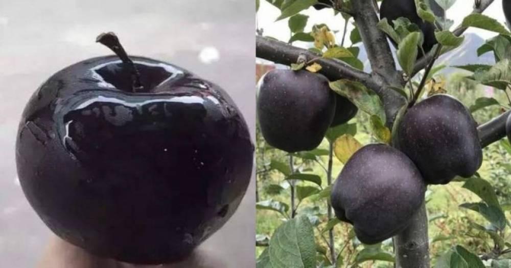 «Սև ադամանդ» կոչվող խնձորների հատը վաճառում են 20 դոլարով, սակայն ոչ ոք չի ցանկանում զբաղվել դրանց արտահանությամբ (լուսանկարներ)