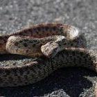 Փրկարարները բռնել են 1 սահնօձ, 1 չպարզված տեսակի օձ
