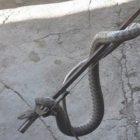 Փրկարարները բռնել են 3 գյուրզա տեսակի օձ