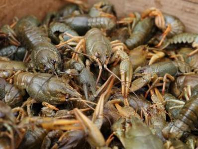 Գործադիրը հաստատեց Սեւանա լճում ձկան եւ խեցգետնի պաշարների վերականգնման, որսի քանակների, ձեւերի կարգը
