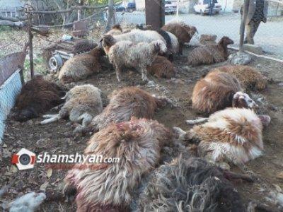 Արտակարգ դեպք Արագածոտնում. գայլերը հոշոտել են բազմանդամ ընտանիքի 25-ից ավելի ոչխարները