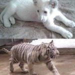 «Zoo Fauna Art» ընկերության տնօրենը հերքում է.Համացանցում տարածված լուսանկարի վագրը Գ.Ծառուկյանինը չէ